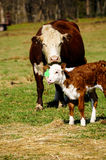 Mother Cow and Calf in a Meadow Royalty Free Stock Photography