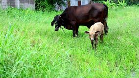 Mother cow and calf in meadow stock video footage