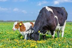 Mother cow and calf together in dandelions meadow. Mother cow and calf together in pasture with blooming yellow  dandelions stock image