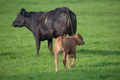 Mother Cow With Calf Royalty Free Stock Photography