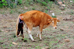 Mother Cow calving Royalty Free Stock Image