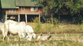 Mother cow eating grass near her offspring. Footage of mother cow eating grass near her offspring stock video