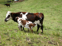 A mother cow with her calf. Stock Photography
