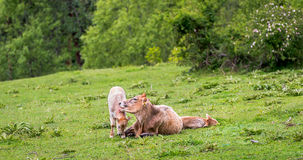 Mother cow and her calf in a field. Royalty Free Stock Images