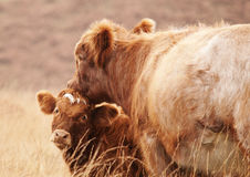Mother Cow and her Calf royalty free stock images