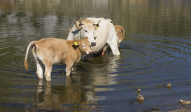 Mother cow and her calf Stock Photos