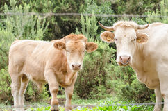 Mother cow and her calf. Royalty Free Stock Photo