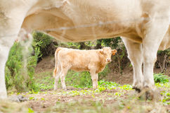 Mother cow and her calf. Stock Photos