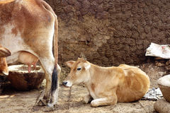 A Mother Cow and Her Calf Royalty Free Stock Images
