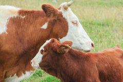 A mother cow with her young calf. A red mother cow with her young calf in a sunny day Royalty Free Stock Photo