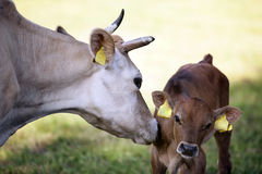 Mother cow licks calf in meadow Royalty Free Stock Photography