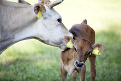 Mother cow licks calf in meadow Stock Photography
