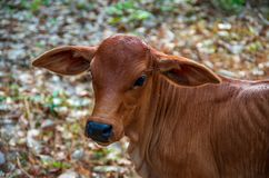 The mother cow is looking for her mother. Mother cow looking green color review stock photo