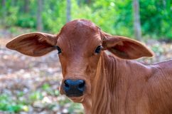 The mother cow is looking for her mother. Green color review royalty free stock photo