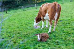 Mother cow with new born calf hours after giving birth on green royalty free stock photography