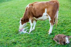 Mother cow with new born calf hours after giving birth on green royalty free stock image