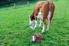 Mother cow with new born calf hours after giving birth on green royalty free stock photos