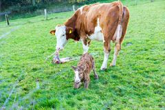 Mother cow with new born calf hours after giving birth on green stock images