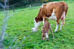 Mother cow with new born calf hours after giving birth on green stock photo