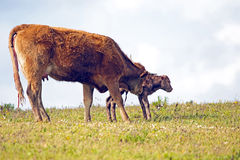 Mother cow with newborn baby calf Stock Images