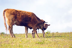 Mother cow with newborn baby calf Stock Photography