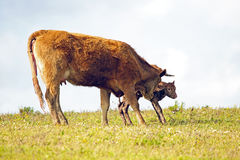 Mother cow with newborn baby calf Royalty Free Stock Photos