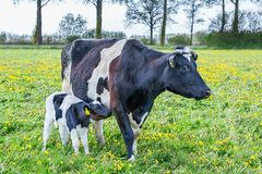 Mother cow with newborn calf  standing in european meadow. Mother cow with newborn calf  standing in dutch pasture stock image