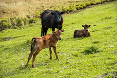 Mother cow next to her baby calf grazing on a meadow Stock Photo