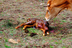Mother Cow taking care of new born Calf Stock Photo