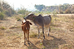 Mother cow with young calf resting Stock Images
