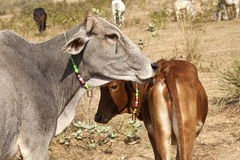 Mother cow with young calf resting Stock Photos
