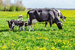 Mother cows with newborn calves in spring meadow. Mother cows with newborn calves in green spring grass with yellow dandelions stock photo