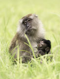 Mother crab-eating macaque with baby Stock Photography
