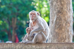 Mother Crab-eating macaque feeding her baby on concrete fence in Stock Photo