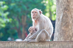 Mother Crab-eating macaque feeding her baby on concrete fence in Stock Photography