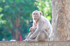 Mother Crab-eating macaque feeding her baby on concrete fence in Stock Images