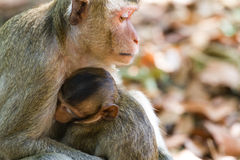 Mother Crab-eating macaque feeding her baby Stock Photos