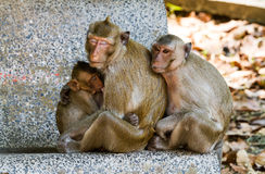 Mother Crab-eating macaque feeding her baby Stock Photo