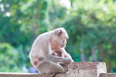 Mother Crab-eating macaque feeding her baby and sleeping on conc Stock Photos