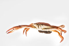 Mother Crab steamed with egg isolated Stock Image