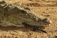 Mother crocodile Royalty Free Stock Image