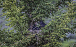 Mother crow and her children on the pine tree Royalty Free Stock Image