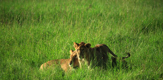 Mother and cub Royalty Free Stock Photography