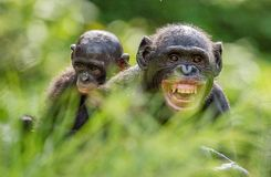Mother and Cub of Bonobo Stock Images