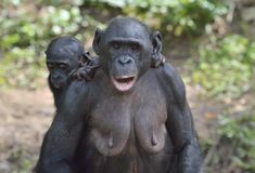 Mother and Cub of chimpanzee Bonobo. Bonobo female  with a cub.  The Bonobo ( Pan paniscus). Stock Photos