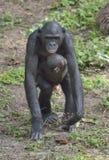 Mother and Cub of chimpanzee Bonobo. Bonobo female  with a cub.  The Bonobo ( Pan paniscus). Stock Photos