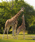 Mother and cub giraffe. Feeding in  a natural environment Stock Images