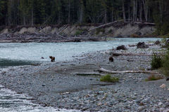 Mother and Cub Grizzly Bears on Riverbank. A mother grizzly bear and her cub are on the lookout for food on a rocky Canadian river in British Colombia Stock Images