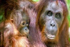 Mother and cub orangutan (Pongo pygmaeus). The close up portrait Royalty Free Stock Photos