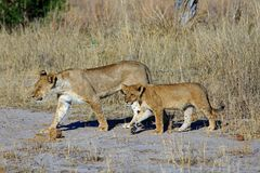 Mother and Cub walk across a dirt track road in Hwange National Park stock photo